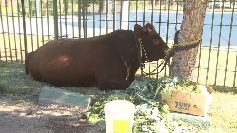 [VIDEO] Buscan a dueño de toro que caminaba por la Alameda durante la madrugada de este domingo