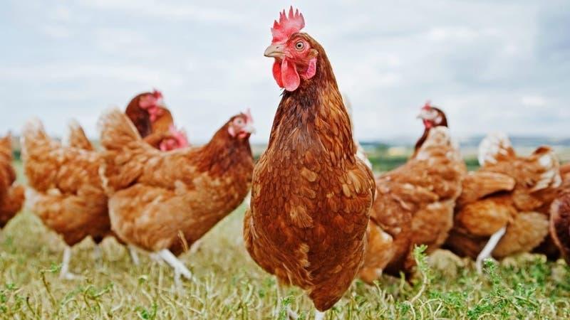 Holanda sacrifica 190.000 gallinas y pollos tras brote de gripe aviaria