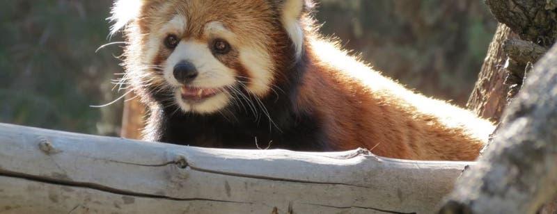 [FOTOS] Buin Zoo presenta a sus primeros pandas rojos