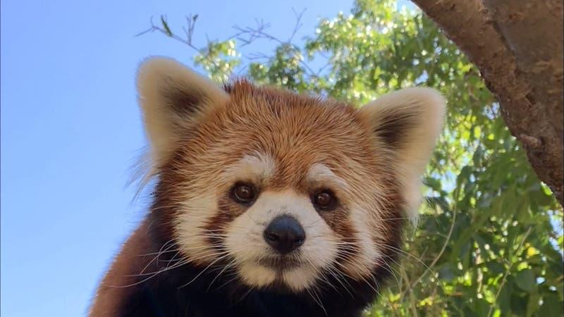 Pandas rojos llegaron desde Japón: El guía de Kung Fu Panda está en el Buin Zoo