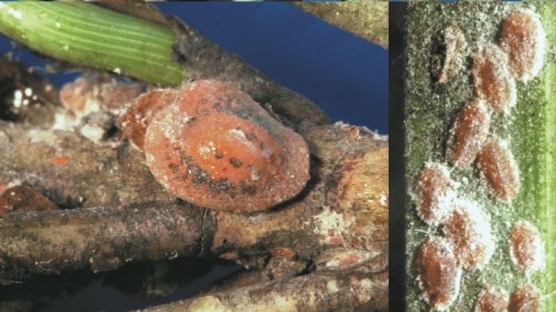 Alerta en Italia por presencia de insecto americano que ataca los pinos de Roma