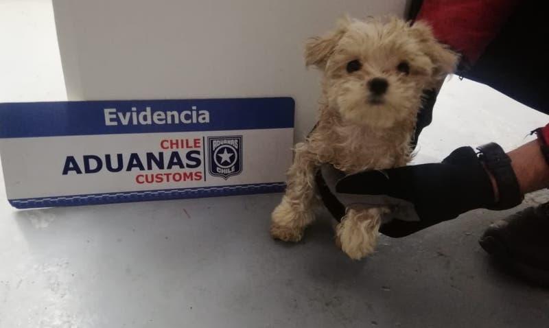 Logran rescatar 25 cachorros que eran ingresados ocultos por el Paso Los Libertadores