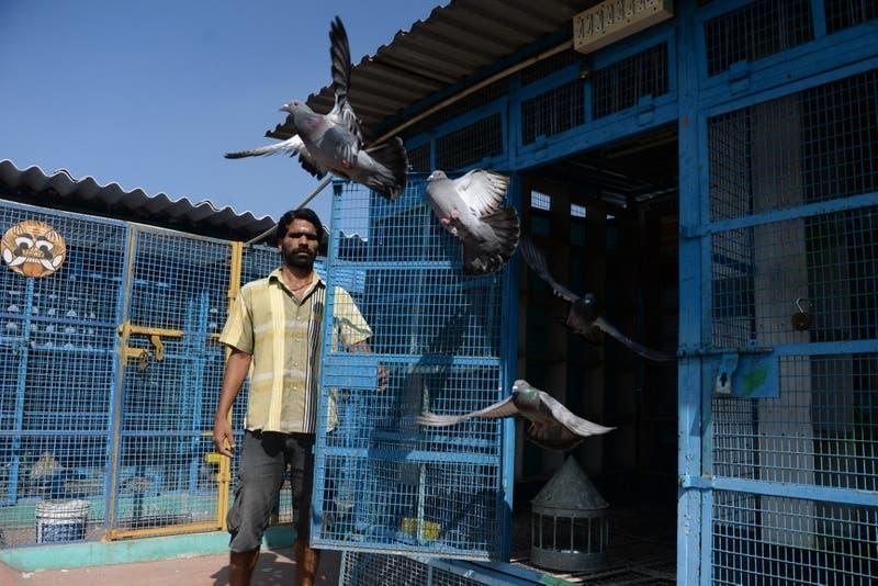 Temor a la gripe aviar: decenas de miles de aves son sacrificadas en corral de India