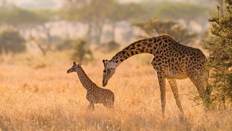 """""""Estamos desconsolados"""": Jirafa bebé muere tras ser pisada por su madre en un zoológico"""