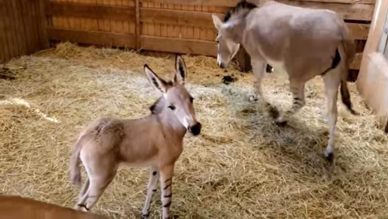 [VIDEO] Buin Zoo presenta a Lucrecia e Ita, las crías de asno de Somalia nacidas en el recinto
