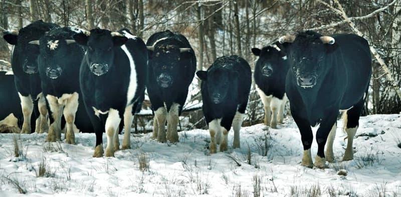 Vacas abandonadas en Chernóbil adoptan inesperado comportamiento