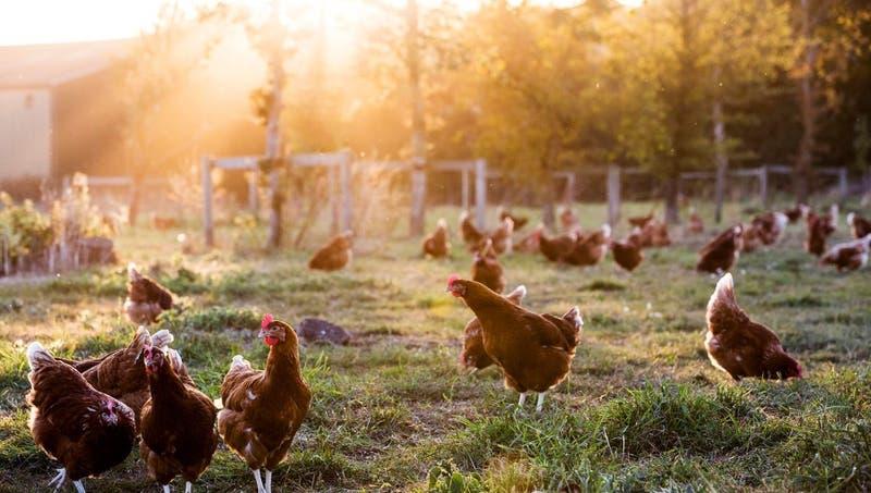 Rusia detecta primer caso de transmisión de cepa H5N8 de gripe aviar al ser humano