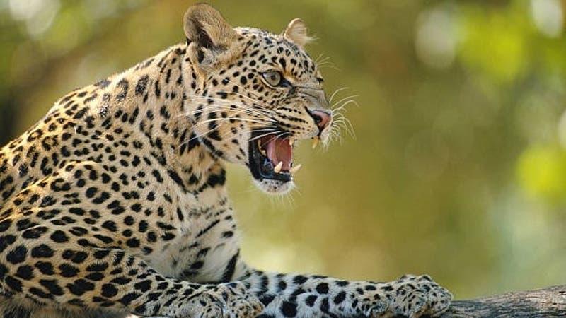 Hombre mata a golpes a un leopardo para defender a su hija y su esposa