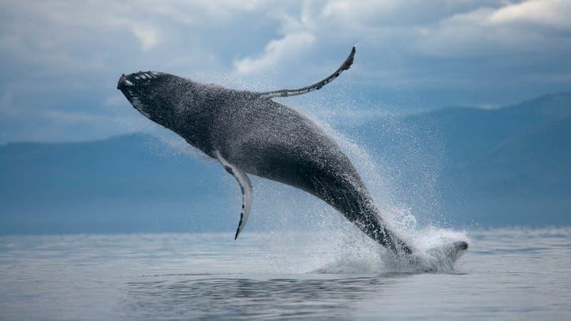 Mujer podría hacerse millonaria tras encontrar 7 kilos de vómito de ballena