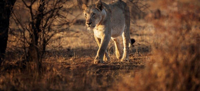 Rastreador es devorado por leones en reserva en Sudáfrica