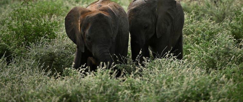Elefante de selva africano en peligro de extinción
