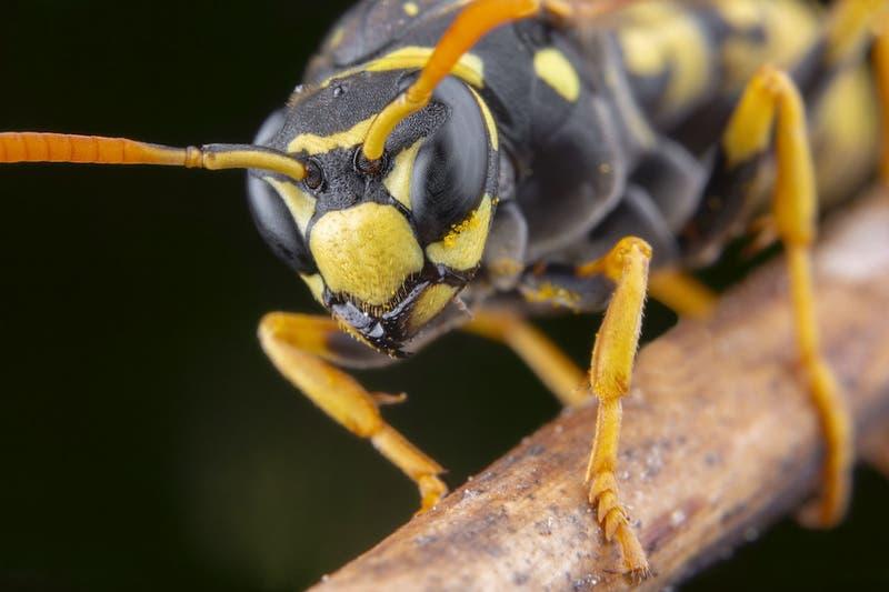 """Agresivos """"avispones asesinos"""" ponen en jaque a colmenas de abejas"""