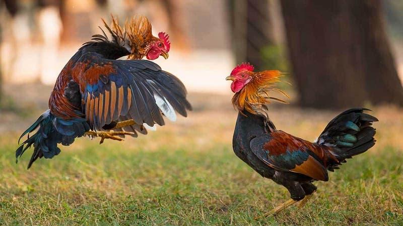 Cuba promulga ley contra el maltrato animal, pero no prohibió las peleas de gallo