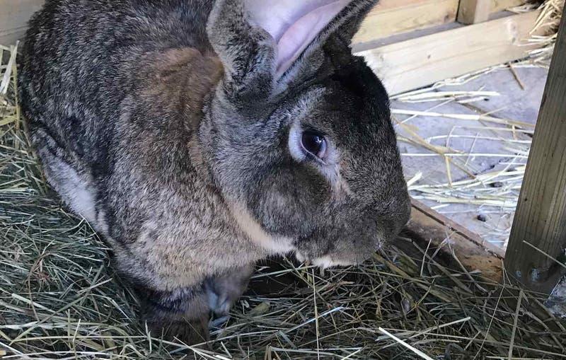 Robaron el conejo más grande del mundo en Inglaterra