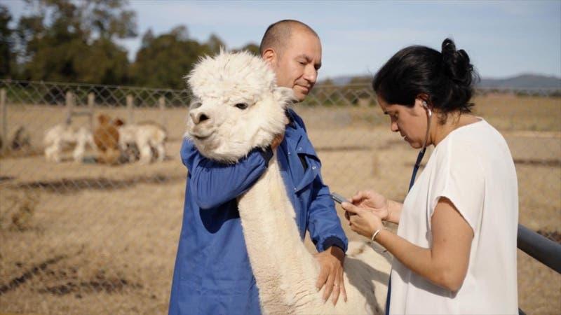 Alpacas contra el COVID-19: Investigadores piden financiamiento