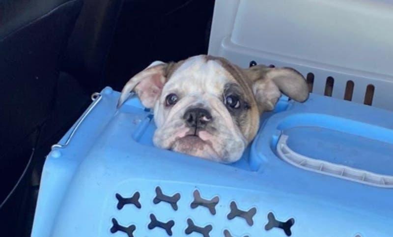 Detienen a dos extranjeros por contrabando de cachorros de perros