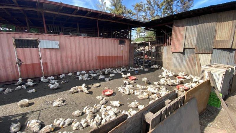 Maltrato animal: Carabineros desbarata matadero clandestino en la comuna de La Pintana