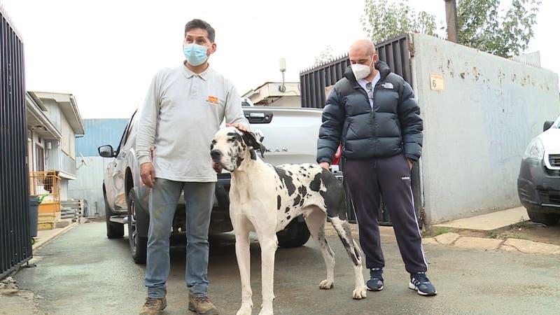 Familia en España busca recuperar a su perro: Tuvieron que dejarlo en Chile por su tamaño