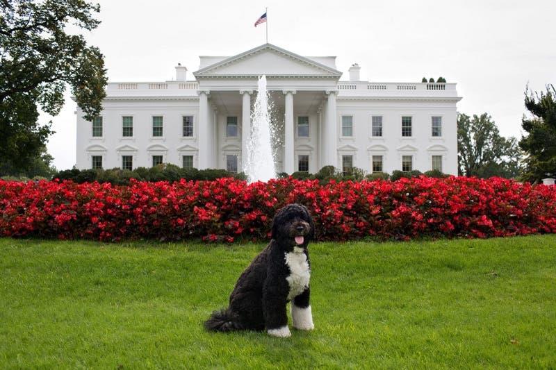 """Obama despide al perro que lo acompaño en la Casa Blanca : """"Era exactamente lo que necesitábamos"""""""