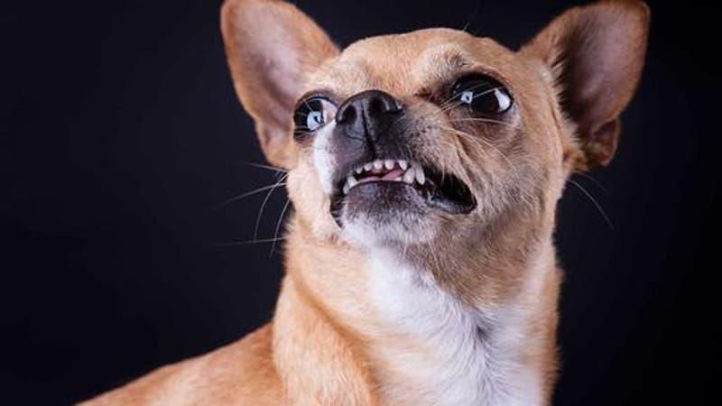 "Perro chihuahua arriesga ""pena de muerte"" tras morder a vendedora de cosméticos"