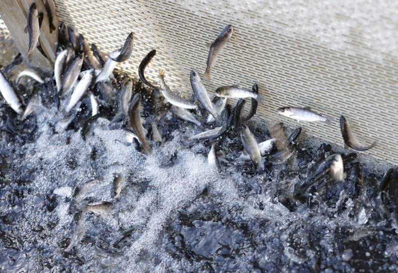 Muerte masiva de peces pone a salmoneras chilenas en la mira