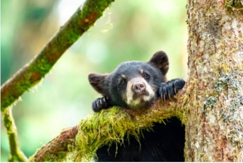 Pareja atraía osos con donas para torturarlos con su jauría de perros