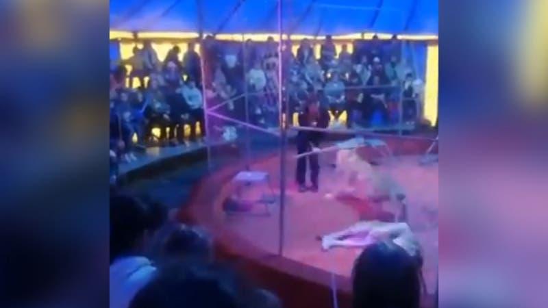 [VIDEO] Domador de circo sufre brutal ataque por leona en pleno show y luego es hospitalizado