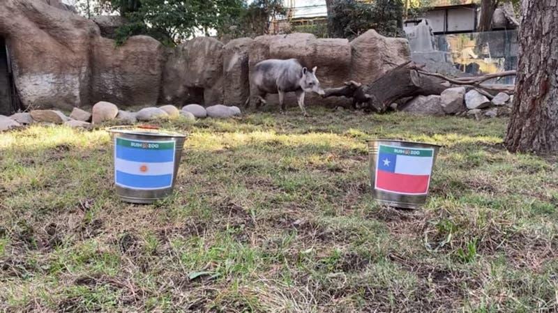 Tapir Manolo del Buin Zoo predice ganador entre Chile y Argentina