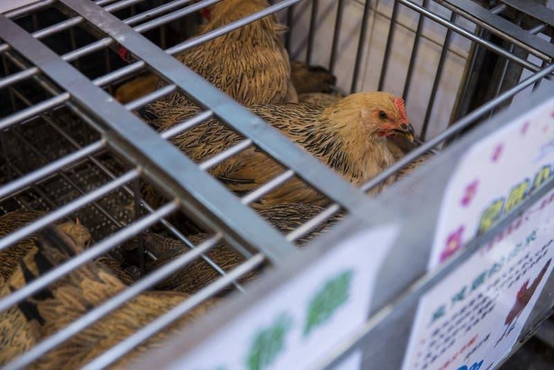 Qué es, cómo se transmite y su riesgo: Lo que sabemos del primer caso en humanos de gripe aviar