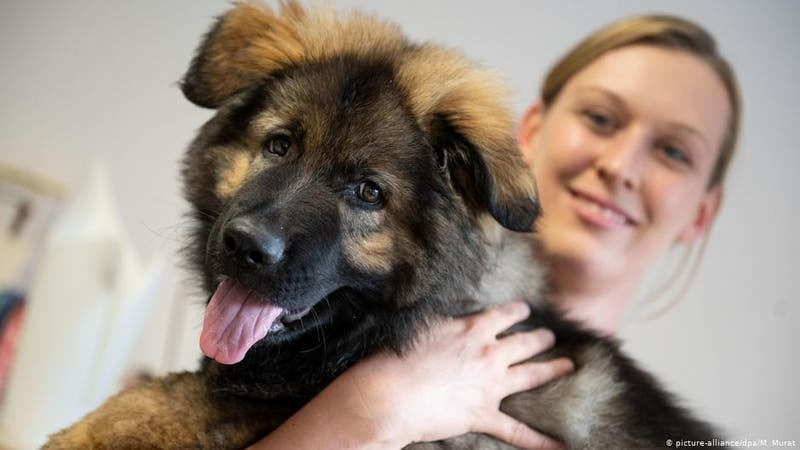 Estudio siguiere que los perros nacen preparados para comunicarse con las personas