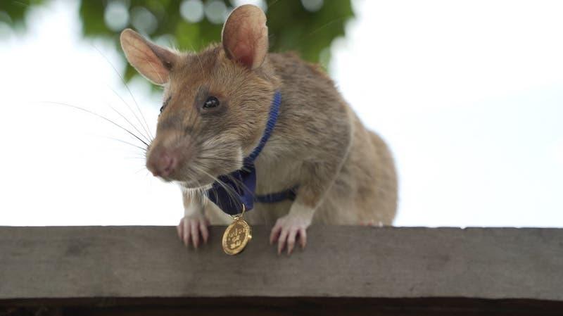 Rata gigante experta en detectar minas se 'jubila' tras cinco años de servicio