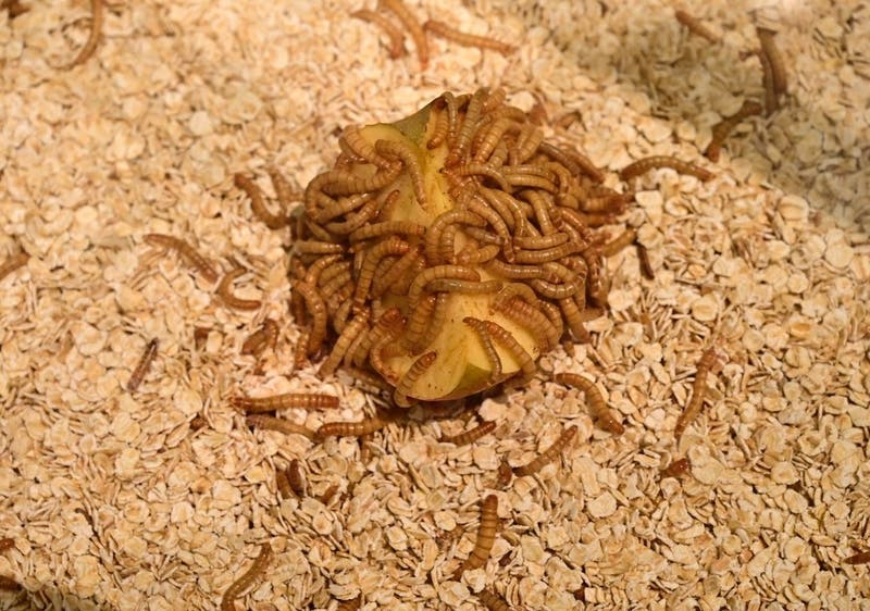 ¿Comerías harina de gusano?: Unión Europea aprueba el consumo de los productos a base de insectos