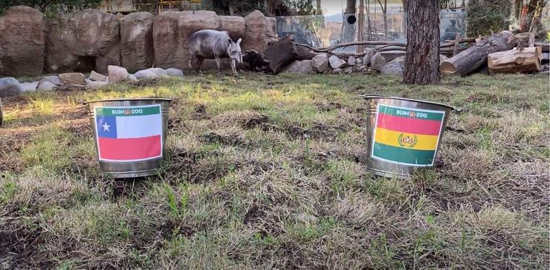 ¿Quién gana? Tapir Manolo del Buin Zoo ya tiene a su favorito para el duelo entre Chile y Bolivia