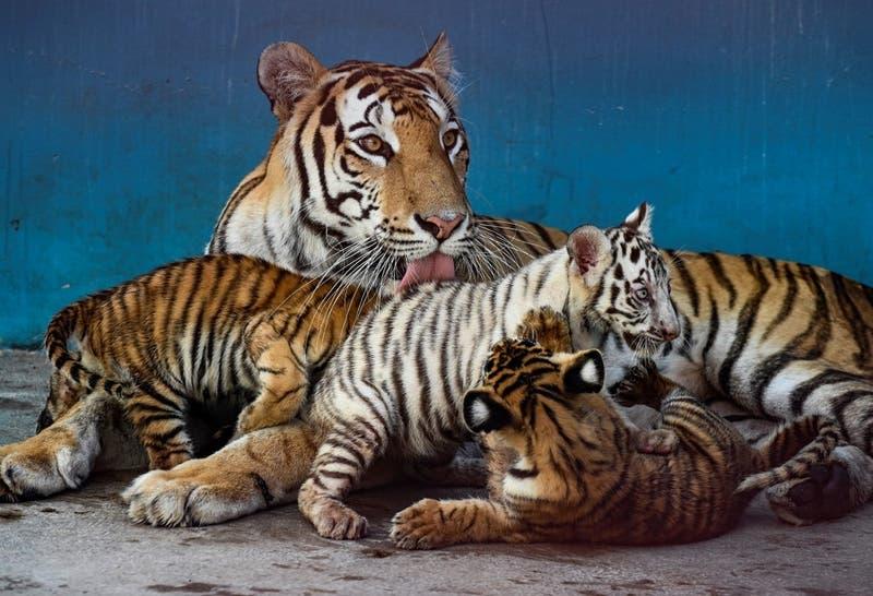 Yanek, la primera tigresa blanca nacida en Cuba
