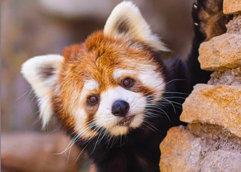Conoce cómo apadrinar a un animalito del Buin Zoo para continuar su cuidado en pandemia