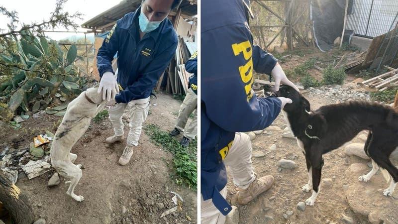Detienen a sujeto que mantenía cuatro perros galgos en desnutrición avanzada en Pirque