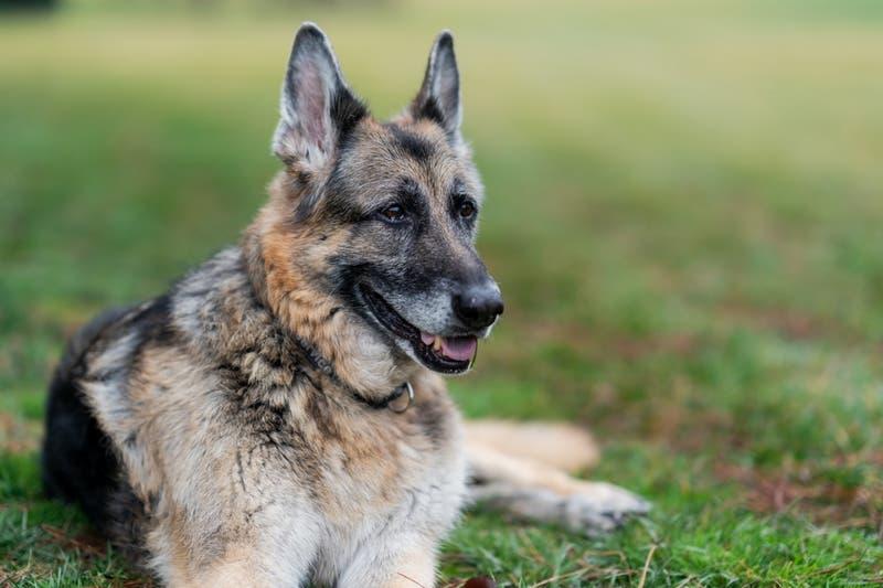 "Fallece ""Champ"", el fiel compañero canino de Joe Biden"