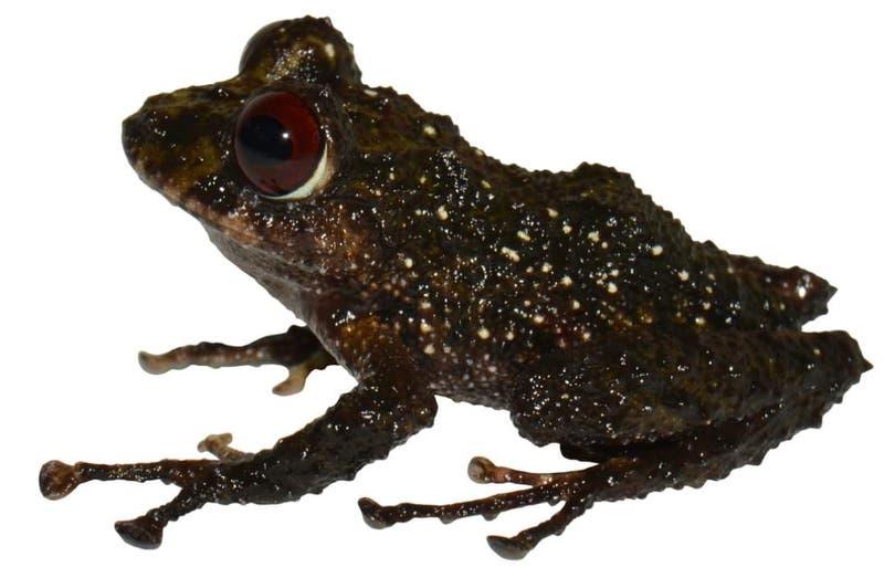 Pristimantis ledzeppelin: Nueva especie de rana fue bautizada en honor a la famosa banda británica