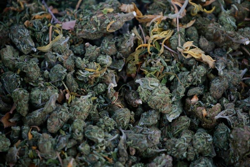 [VIDEO] Carabineros logra incautar cerca de mil plantas de Cannabis Sativa