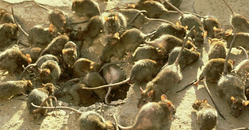 Una plaga de ratones obliga a evacuar a presos de una cárcel de Australia