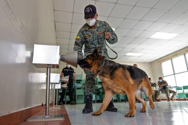 Perros detectan a contagiados con el COVID-19 oliendo su sudor