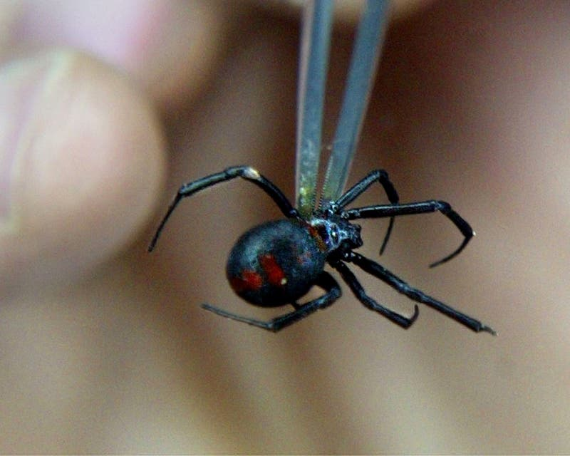 "Bolivia: Niños se dejan picar por araña viuda negra para obtener ""poderes de Spider-Man"""