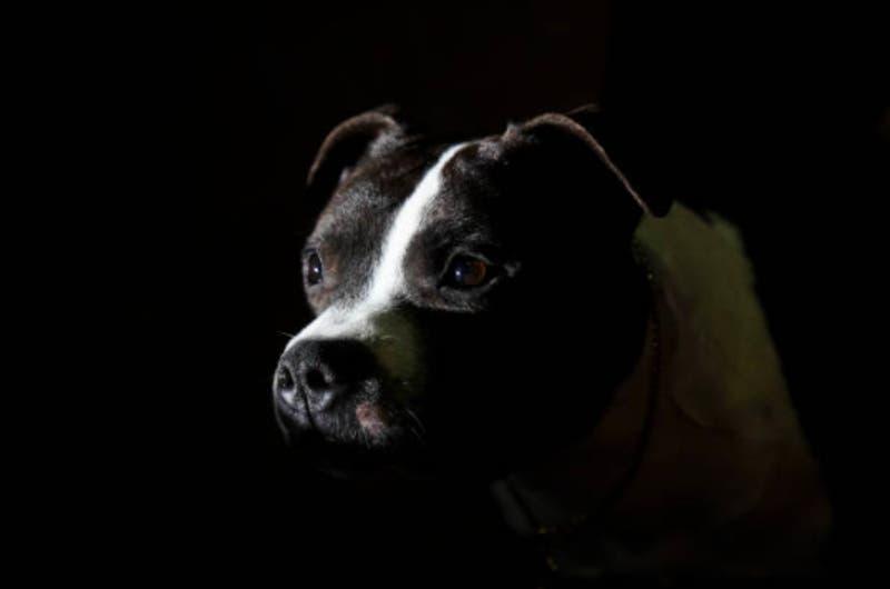 [VIDEO] Hombre es atacado por dos bullterrier: Estaba cubriendo con su cuerpo a su perrito viejo