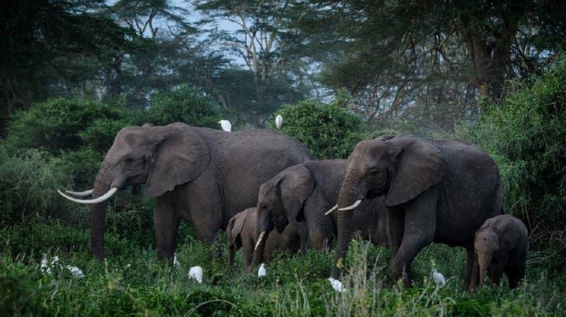 Encuentran un elefante de Sumatra decapitado y envenenado en Indonesia