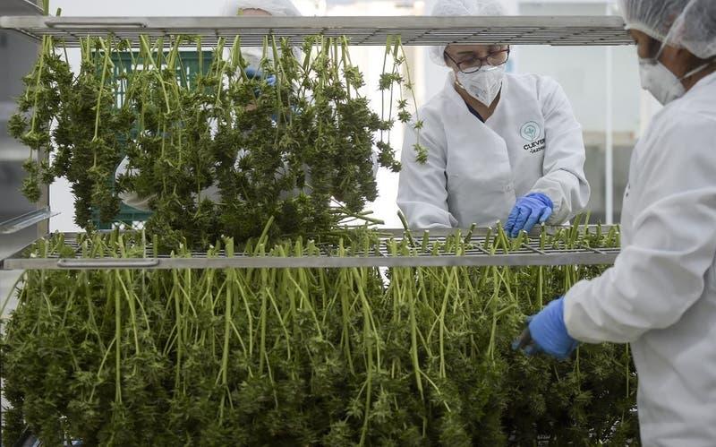 Colombia autoriza uso industrial de la marihuana y su exportación con fines medicinales