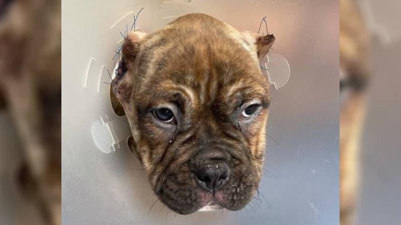 Grave caso de maltrato animal: Investigan mutilación de orejas a perrito de tres meses