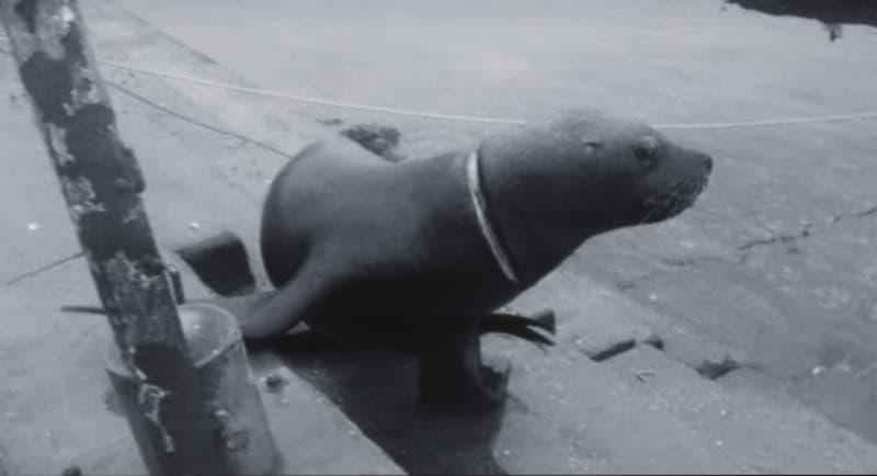 Luego de meses capturan a lobo marino que tenía su cuello cercenado por un nylon