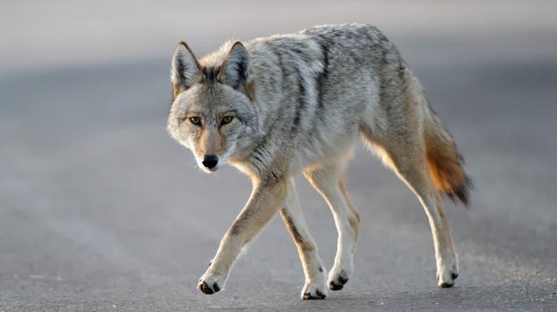 [VIDEO] Mujer se defendió de un coyote sólo con un palo por 10 minutos