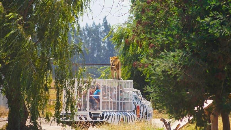 Parque Safari Rancagua: Cómo es el lugar donde murió una trabajadora atacada por un tigre
