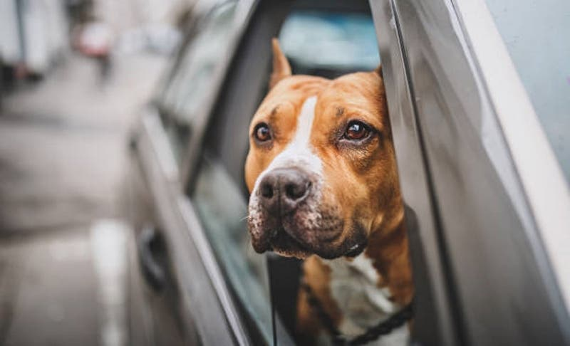"""""""Quiero que muera"""": detienen a mujer por dejar morir a su perro en un auto caliente como castigo"""